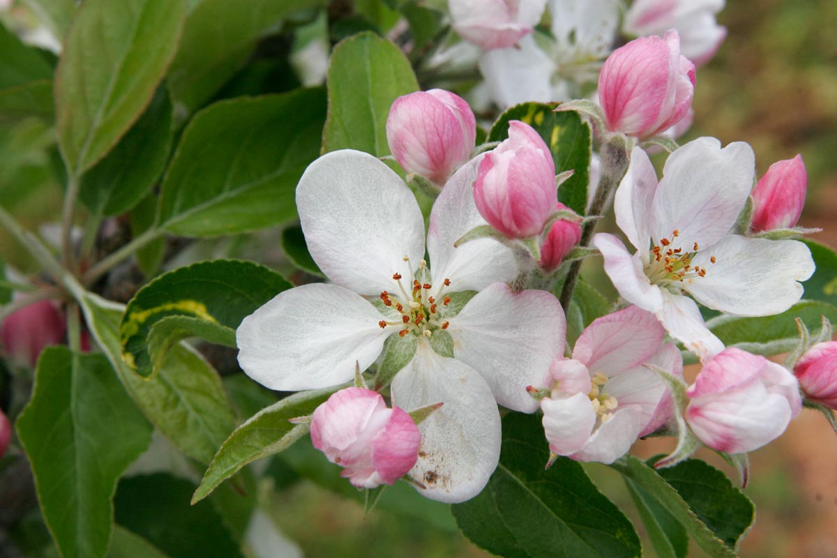 Apple_blossoms