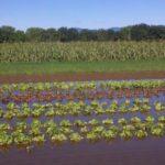 flooded_lettuce